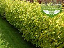 Cornus alba 'Aurea', Дерен білий 'Ауреа',C7.5 - горщик 7,5 л