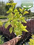 Cornus alba 'Aurea', Дерен білий 'Ауреа',C7.5 - горщик 7,5л, фото 10