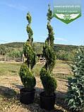 Thuja 'Smaragd' Form, Туя 'Смарагд' Формована,180-200см,C100 - горщ. 100л,Спіралевидна стрижка, Шар, фото 5