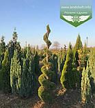 Thuja 'Smaragd' Form, Туя 'Смарагд' Формована,180-200см,C100 - горщ. 100л,Спіралевидна стрижка, Шар, фото 6