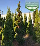 Thuja 'Smaragd' Form, Туя 'Смарагд' Формована,180-200см,C100 - горщ. 100л,Спіралевидна стрижка, Шар, фото 7