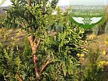Thuja occidentalis 'Aureospicata', Туя західна 'Ауреоспіката',WRB - ком/сітка,200-230см, фото 4