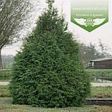 Thuja occidentalis 'Frieslandia', Туя західна 'Фрісландія',WRB - ком/сітка,200-230см, фото 3