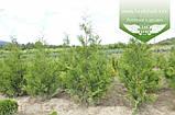 Thuja occidentalis 'Frieslandia', Туя західна 'Фрісландія',WRB - ком/сітка,200-230см, фото 4