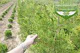 Thuja occidentalis 'Frieslandia', Туя західна 'Фрісландія',WRB - ком/сітка,200-230см, фото 5