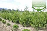 Thuja occidentalis 'Frieslandia', Туя західна 'Фрісландія',WRB - ком/сітка,200-230см, фото 6