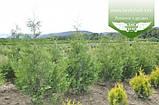 Thuja occidentalis 'Frieslandia', Туя західна 'Фрісландія',WRB - ком/сітка,200-230см, фото 7