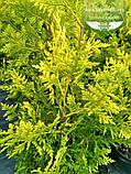 Thuja occidentalis 'Golden Brabant', Туя західна 'Голден Брабант',C2 - горщик 2л,40-60см, фото 2