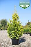 Thuja occidentalis 'Golden Brabant', Туя західна 'Голден Брабант',C2 - горщик 2л,40-60см, фото 3