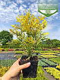Thuja occidentalis 'Golden Brabant', Туя західна 'Голден Брабант',C2 - горщик 2л,40-60см, фото 6