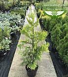 Thuja occidentalis 'Golden Brabant', Туя західна 'Голден Брабант',C2 - горщик 2л,40-60см, фото 8