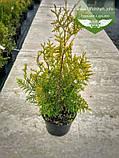 Thuja occidentalis 'Golden Brabant', Туя західна 'Голден Брабант',C2 - горщик 2л,40-60см, фото 9