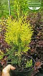 Thuja occidentalis 'Golden Brabant', Туя західна 'Голден Брабант',C2 - горщик 2л,40-60см, фото 10