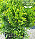 Thuja occidentalis 'Golden Smaragd', Туя західна 'Голден Смарагд',WRB - ком/сітка,60-80см, фото 5