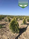 Thuja occidentalis 'Golden Smaragd', Туя західна 'Голден Смарагд',WRB - ком/сітка,60-80см, фото 9