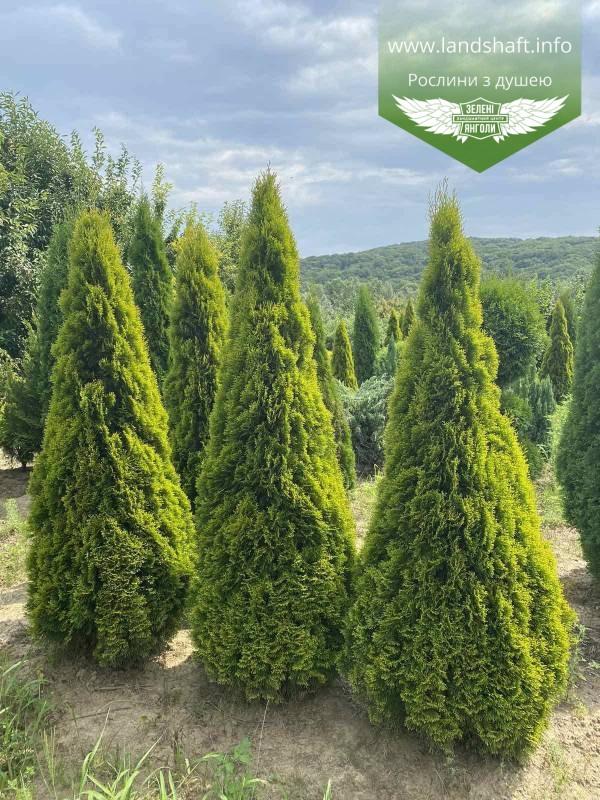 Thuja occidentalis 'Golden Smaragd', Туя західна 'Голден Смарагд',WRB - ком/сітка,100-120см