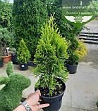 Thuja occidentalis 'Golden Smaragd', Туя західна 'Голден Смарагд',WRB - ком/сітка,100-120см, фото 3