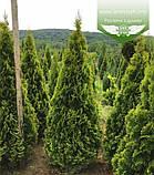 Thuja occidentalis 'Golden Smaragd', Туя західна 'Голден Смарагд',WRB - ком/сітка,120-140см, фото 6