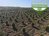 Thuja occidentalis 'Golden Smaragd', Туя західна 'Голден Смарагд',WRB - ком/сітка,140-160см, фото 8