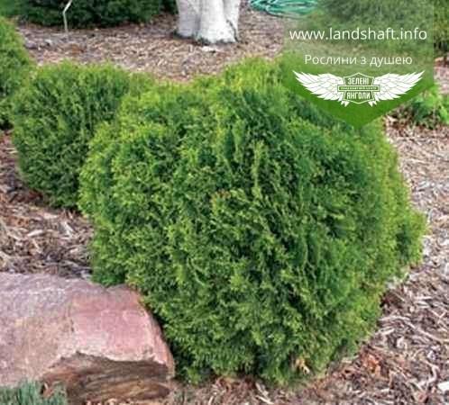 Thuja occidentalis 'Little Giant', Туя західна 'Літл Джаєнт',WRB - ком/сітка,60-80см