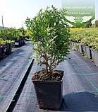 Thuja occidentalis 'Little Giant', Туя західна 'Літл Джаєнт',WRB - ком/сітка,60-80см, фото 4