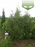 Thuja occidentalis 'Perk Vlaanderen', Туя західна 'Перк Влаандерен',WRB - ком/сітка,220-250см, фото 3