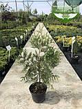 Thuja occidentalis 'Perk Vlaanderen', Туя західна 'Перк Влаандерен',WRB - ком/сітка,220-250см, фото 8