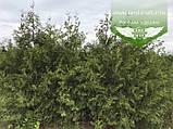 Thuja occidentalis 'Perk Vlaanderen', Туя західна 'Перк Влаандерен',WRB - ком/сітка,220-250см, фото 10