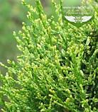 Thuja occidentalis 'Smaragd Witbont', Туя західна 'Смарагд Вітбонт',WRB - ком/сітка,55-65см, фото 4
