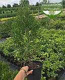 Thuja occidentalis 'Spotty Smaragd', Туя західна 'Спотті Смарагд',WRB - ком/сітка,120-140см, фото 4