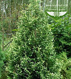 Thuja occidentalis 'Spotty Smaragd', Туя західна 'Спотті Смарагд',WRB - ком/сітка,120-140см, фото 5