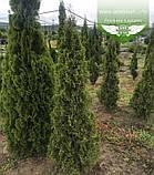 Thuja occidentalis 'Spotty Smaragd', Туя західна 'Спотті Смарагд',WRB - ком/сітка,120-140см, фото 7