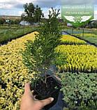 Thuja occidentalis 'Spotty Smaragd', Туя західна 'Спотті Смарагд',WRB - ком/сітка,120-140см, фото 8