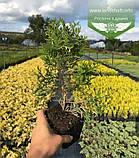 Thuja occidentalis 'Spotty Smaragd', Туя західна 'Спотті Смарагд',WRB - ком/сітка,120-140см, фото 9