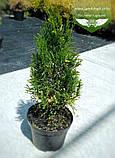 Thuja occidentalis 'Spotty Smaragd', Туя західна 'Спотті Смарагд',WRB - ком/сітка,160-180см, фото 2