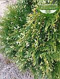 Thuja occidentalis 'Spotty Smaragd', Туя західна 'Спотті Смарагд',WRB - ком/сітка,160-180см, фото 3