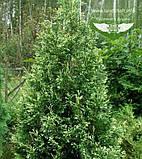Thuja occidentalis 'Spotty Smaragd', Туя західна 'Спотті Смарагд',WRB - ком/сітка,160-180см, фото 5