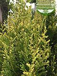 Thuja occidentalis 'Stolwijk', Туя західна 'Столвік',P7-Р9 - горщик 9х9х9,10-15см, фото 9