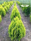 Thuja orientalis 'Aurea Nana', Туя східна 'Ауреа Нана',P7-Р9 - горщик 9х9х9,0-5см, фото 2
