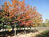 Дуб красный Quercus Rubra (ОКС), фото 2