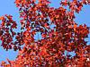 Дуб красный Quercus Rubra (ОКС), фото 3