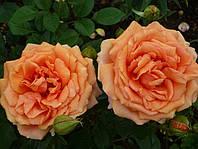 Роза чайно-гибридная Ашрам, фото 1