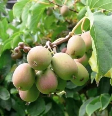 Саженцы Актинидии Люси - женская, высокоурожайная, морозостойкая