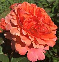 Роза чайно-гибридная Этруска, фото 1