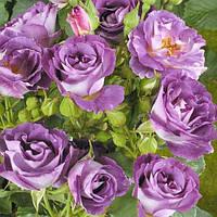 Роза флорибунда Блю фо ю, фото 1