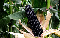 Кукуруза Перуанская черная  ( Мама Сара)