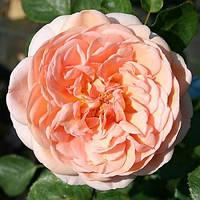 Роза шраб Поль Бокус, фото 1