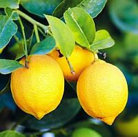 Саженцы лимона Эрика (Erika)(двухлетний)- самоопыляемый, крупноплодный