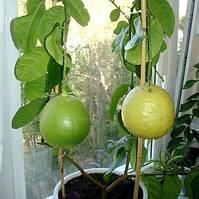 Саженцы лимона Пандероза (двухлетний)- среднего срока созревания