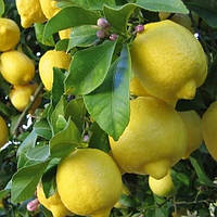 Саженцы лимона Павловский (Pavlovsky) (двухлетний)- самоопыляемый